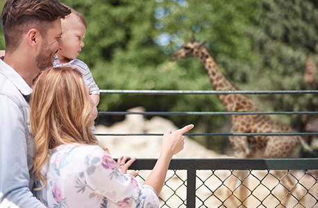 A family of 3 AAA members looking at giraffes at a zoo